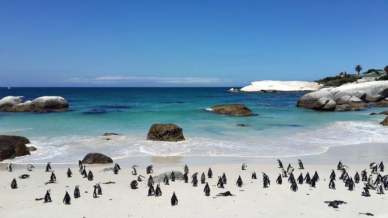 W RPA można zobaczyć pingwiny afrykańskie.