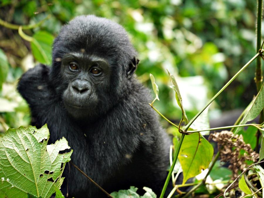 Uganda to dom dla wielkiej populacji goryli górskich.