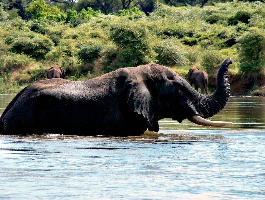 W Zambii urlop spędzają również słonie.