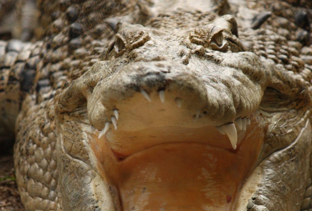 Uważaj w Australii na krokodyle fot. pixabay