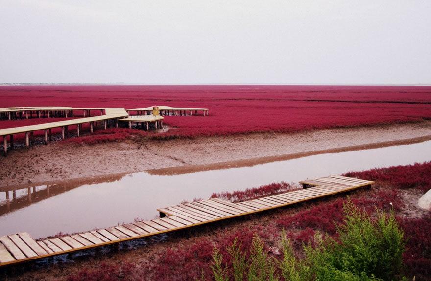 Czerwona Plaża w Panjin w Chinach, za jej kolor odpowiada specjalny rodzaj wodorostów sueda. fot. autor nieznany